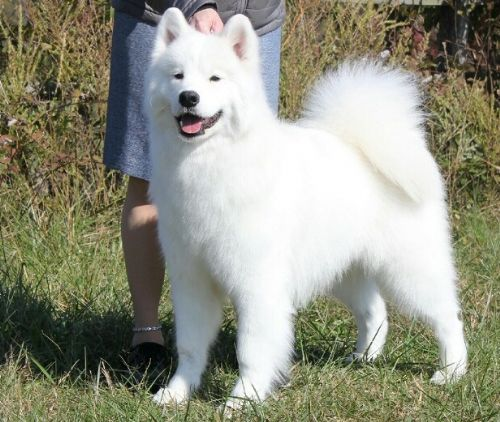 Song quot coda quot new market md white magic samoyeds in brookfield ct